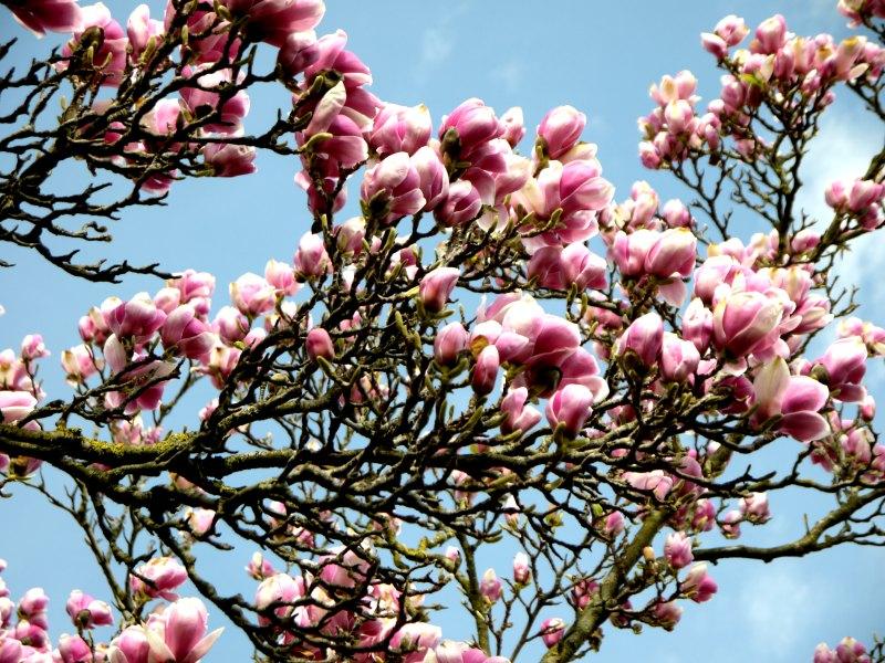 Kontrast zwischen blauem Himmel und rosa Blüten