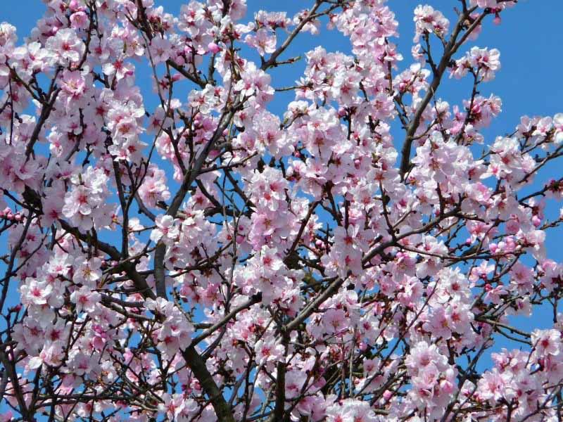 Ausflugsziele im Frühling: Mandelblüte in der Pfalz