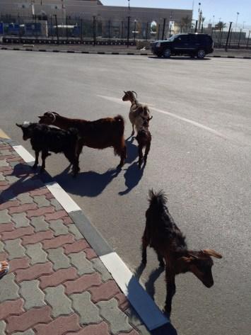 Immigrant goats [Oman-UAE border].