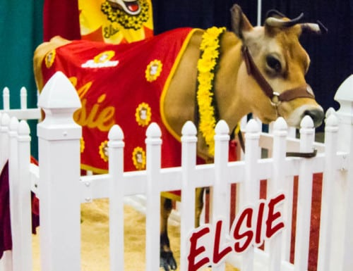 Elsie the Cow was either in a food coma or heavily sedated.
