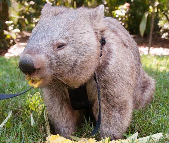 Australia Zoo 3472: Wombat