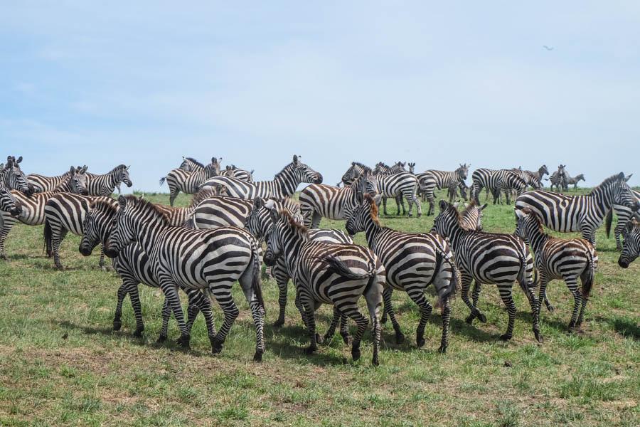 Zebras at Masai Mara National Reserve