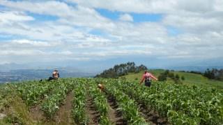 Tramo 4 - campos de maíz en la cima