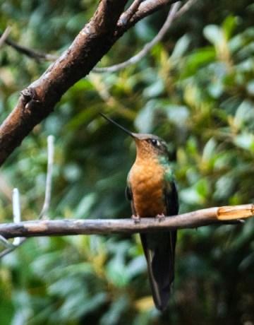 Colibri Alazafiro grande hembra. Foto: Nicolás Nevarez