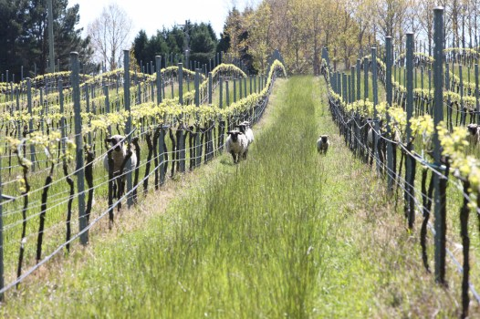 More sheep and vines Tractorless Vineyard