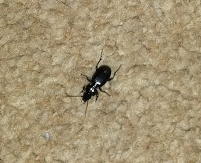 Beetle guest