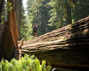 My daughter on a fallen redwood.