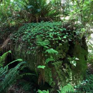 An old redwood tree morphs into the forest floor