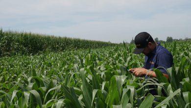 Photo of Investigadores mexicanos y Bayer buscan revolucionar la producción de maíz a nivel mundial