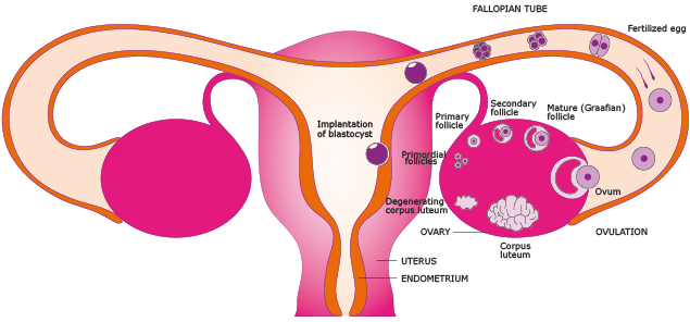 Female Reproduction System  Function  Parts Name  Picture