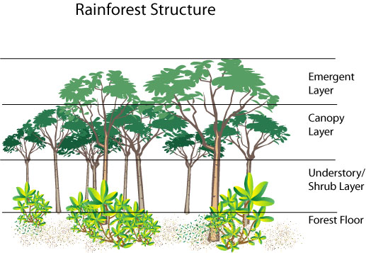 layers of forest diagram eschool Rain Forest Layers layers of forest diagram