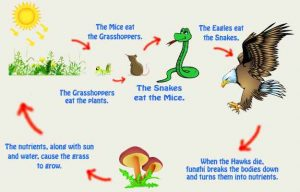 Examples of the food chain: