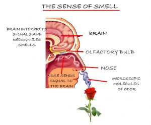 Diagram of smell wiring sense of smell diagram definition works and five senses eschool labeled nose smell diagram of smell ccuart Images