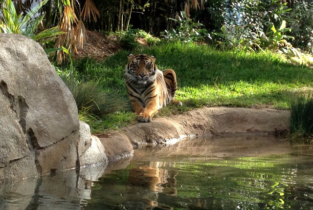 Tiger trail at San Diego Zoo Safari Park. (Photo: Zoological Society of San Diego)