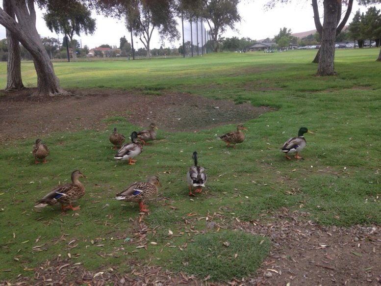 Da ducks at San Ramon Country club.