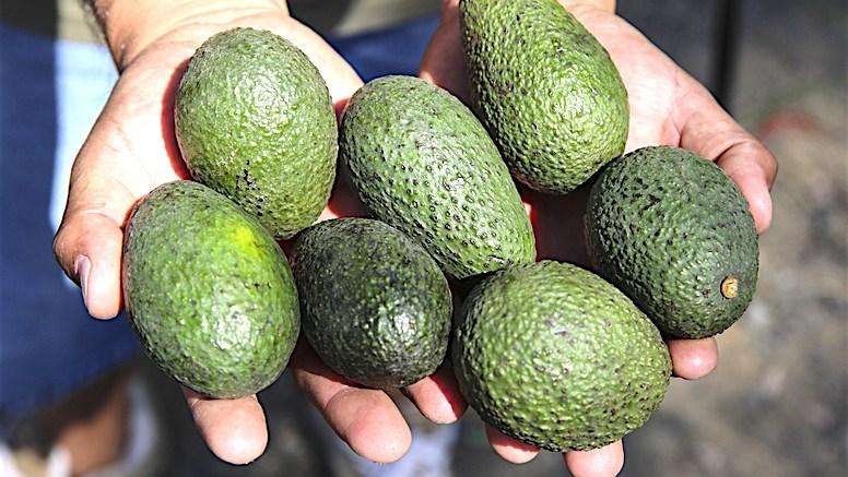 San Diegos Losing Avocado Market Grip Escondido Grapevine