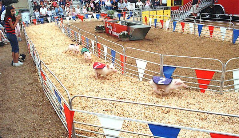 Traditional pig racing?