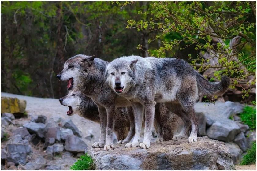 coletivo de lobos