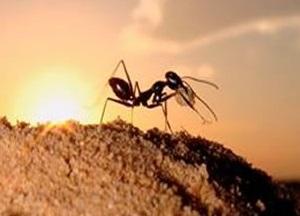 Hormiga en el desierto