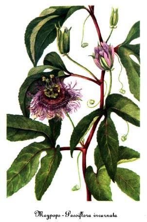 Passiflora_incarnata