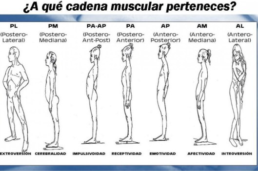 A qué cadena muscular perteneces?