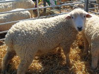 One of my favourite sheep at the show, even if I'm not sure about his/her fleece for spinning - a Devon & Cornwall Longwool