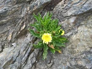 Fiore Alpino