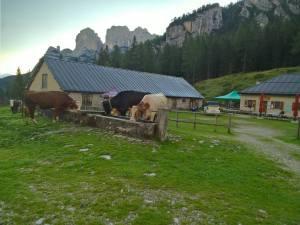 Mucche alla Malga di Pramper