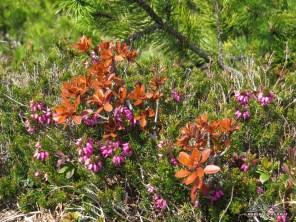 fioriture primaverili sul Cimadors