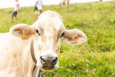 escursionisti-del-gusto-mucche-pasolo-latte-malga