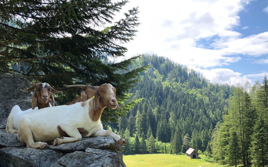 5 benefici per dire 5 volte sì ai formaggi di capra