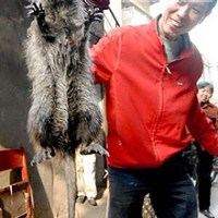 Capturan gigantesca rata en China. Con foto.