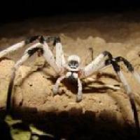 Descubren nueva especie de araña del tamaño de una rata. Con foto.