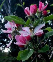 manzano flor de bach