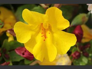 flor de bach para el dominio-mimulo
