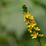 Agrimonia flor de bach autenticidad