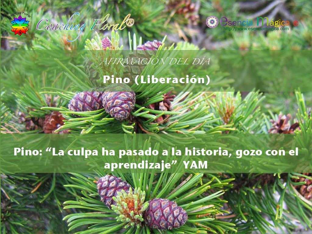 pino flor de bach liberación