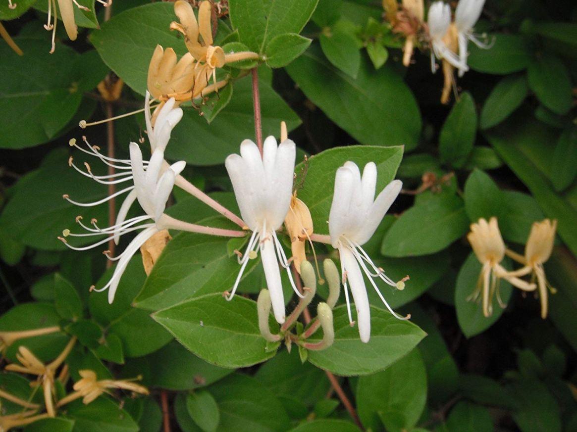 Luz Pura Floral Madreselva-Presente