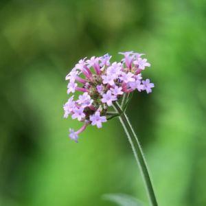 verbena ecuanimidad flor de Bach