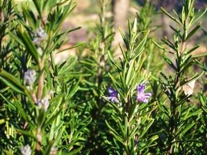 romero-herboristeria-xativa