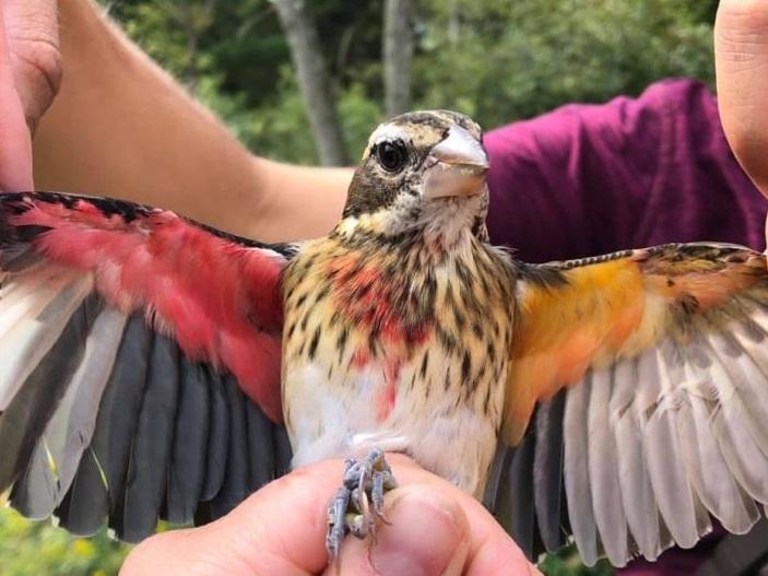 Descoberta única: O pássaro que é macho no lado direito e fêmea no esquerdo.