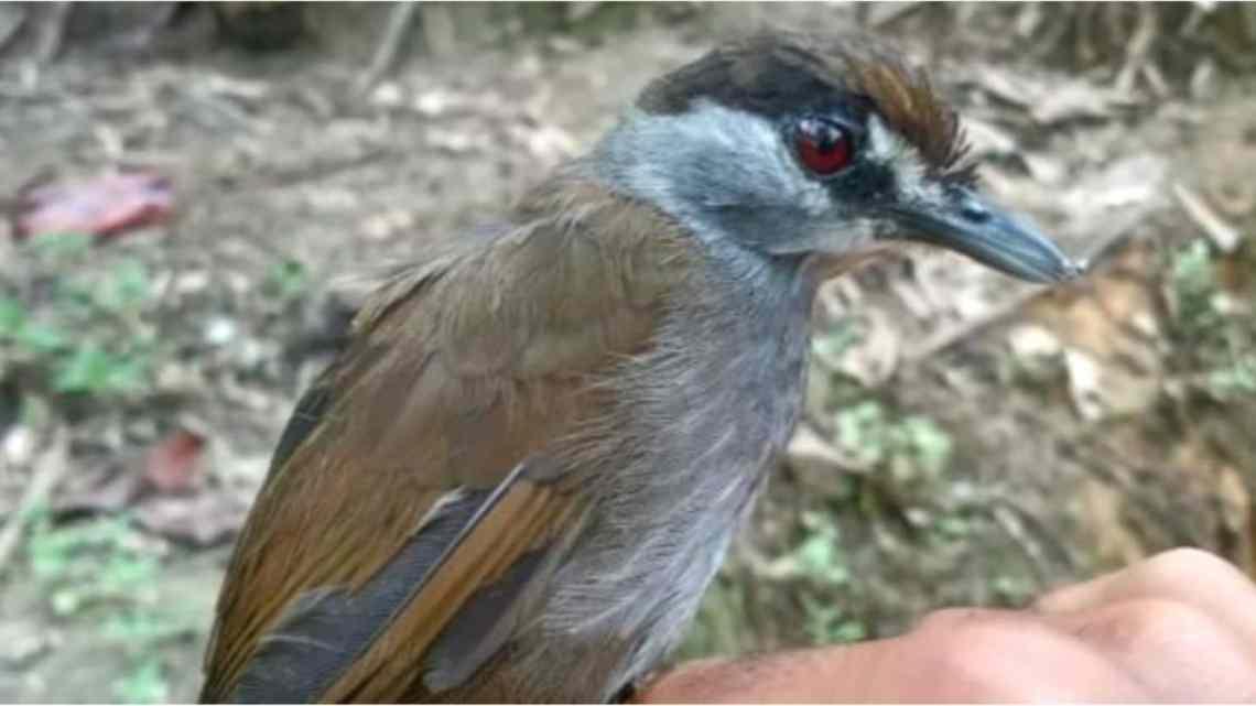 Pássaro 'extinto' foi redescoberto após 170 anos.