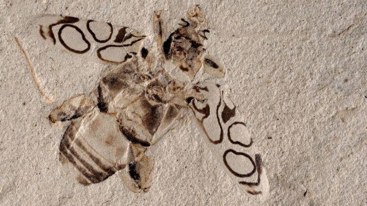 Besouro de 49 milhões de anos encontrado em excelente estado de preservação.