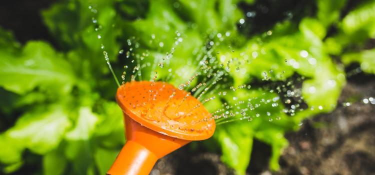 Salad Water Garden Plant