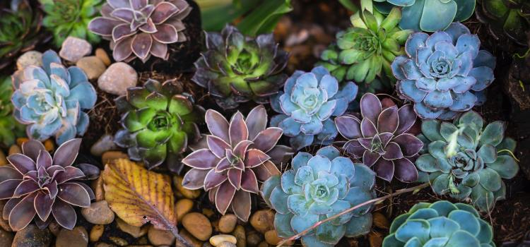 Succulents for xeriscaping