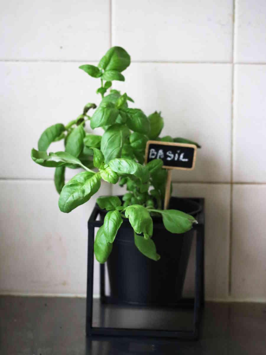 choisir le bon pot : pot en métal noir pour cultiver des herbes aromatiques dans une cuisine comme du basilic | Échoppe Végétale #jardinagefacile #balcon #potagerurbain #basilic #cuisine #potager