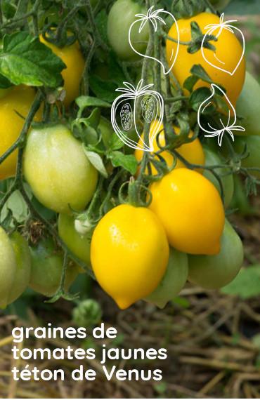 box jardinage bio été : sachet de graines bio et reproducible de tomate jaune téton de Vénus