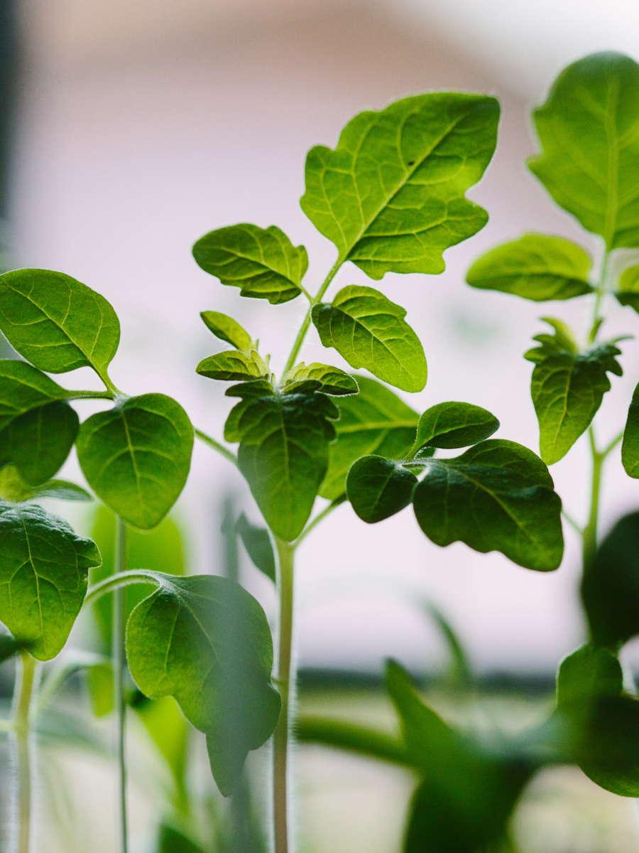 semis de tomates en train de pousser. conseils pour les cultures de mars au potager. L'échoppe Végétale