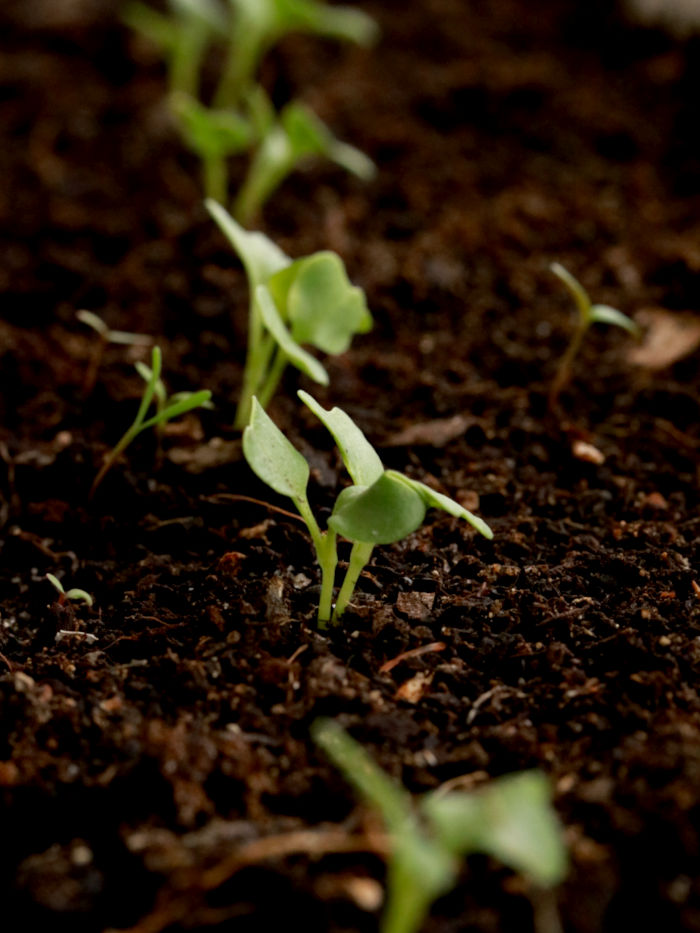 jeunes pousses de graines de chou kale bios et reproductibles