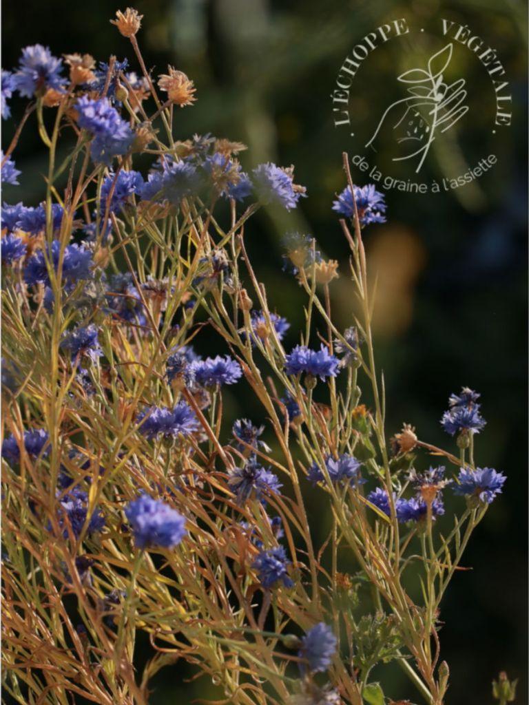 plantes mellifère à cultiver dans un potager sur balcon : le bleuet bleu des champs
